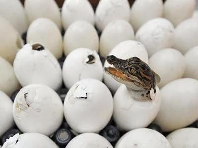 cá sấu con