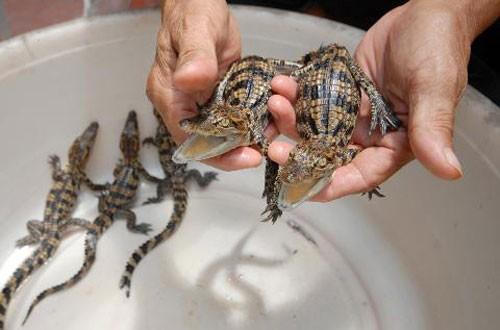 bán cá sấu giống miền bắc