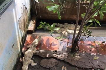 Kỹ thuật nuôi và cách chăm sóc cá sấu cảnh cá sấu Pét