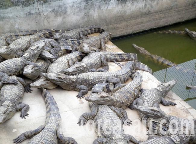 thịt cá sấu trại nuôi