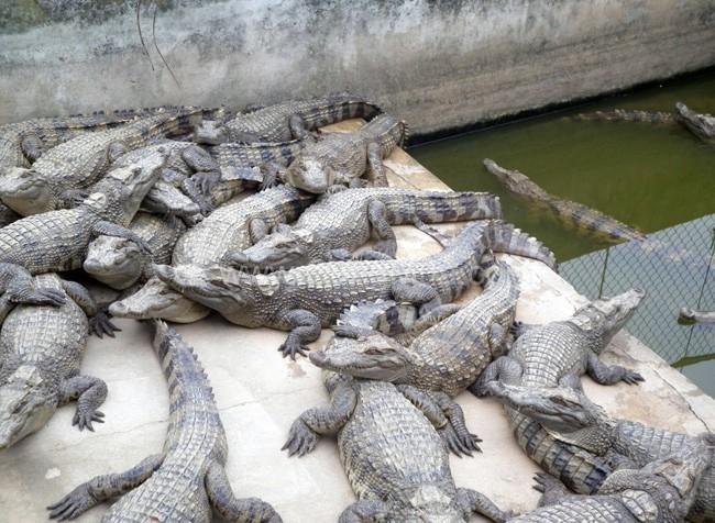 thịt cá sấu tại trại nuôi
