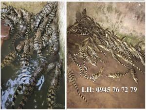 cá sấu con loại 2-3 tháng tuổi