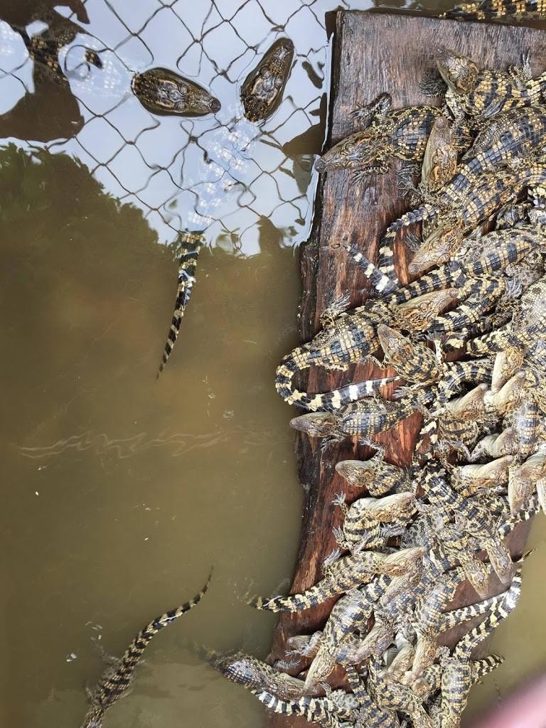 cá sấu mới nở