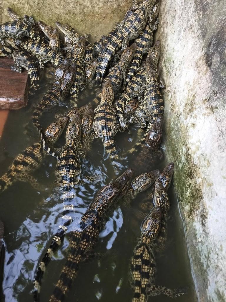 cá sấu non