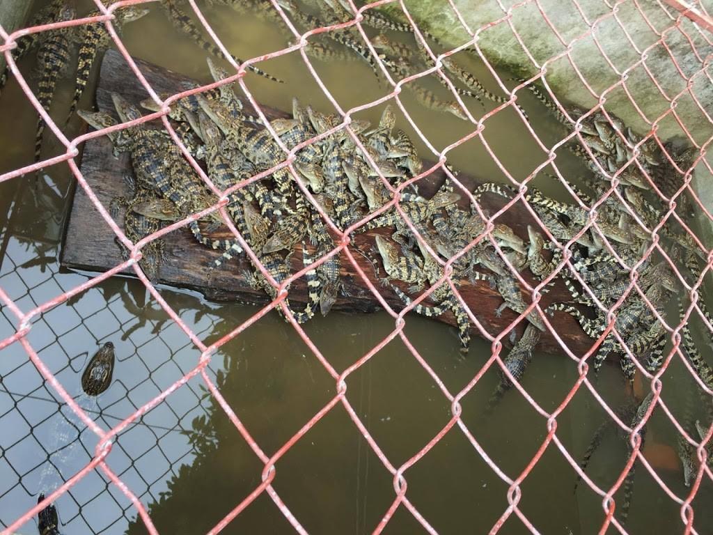cá sấu nằm phơi nắng