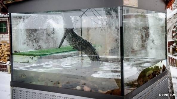 nuôi cá sấu trong bể kính