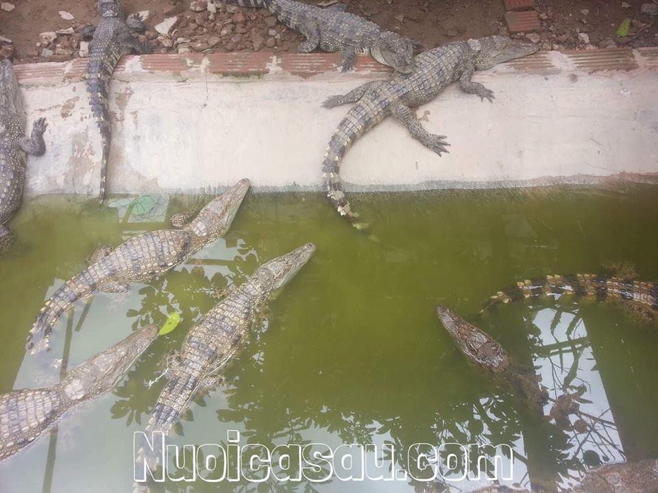 cá sấu thịt giá rẻ